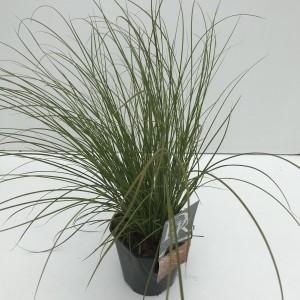 Carex testacea PRAIRIE FIRE COLORGRASS
