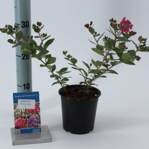 Lagerstroemia indica WITH LOVE KISS