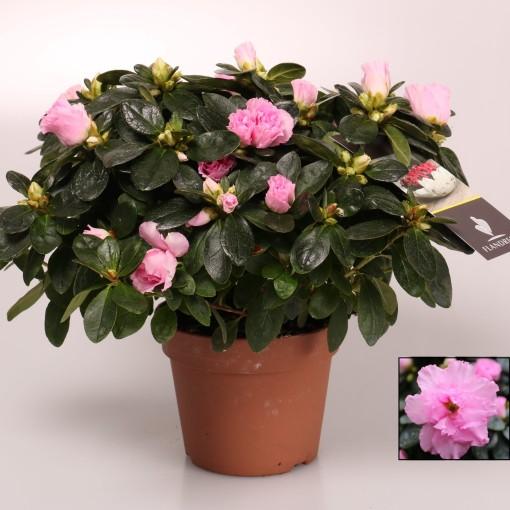 Rhododendron 'Terra Nova' (FlorAmor)