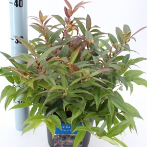 Leucothoe keiskei 'Royal Ruby' (About Plants Zundert BV)