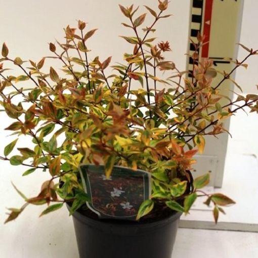 Abelia x grandiflora 'Kaleidoscope' (CPB Sales)