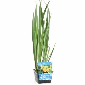 Iris pseudacorus (Moerings Waterplanten)