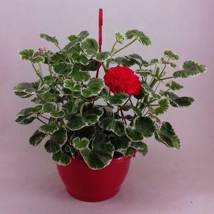 Pelargonium 'Wilhelm Langguth'