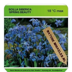Scilla siberica 'Spring Beauty' (Gebr. Straathof)