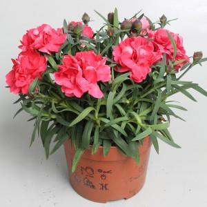 Dianthus SUPER TROUPER BETTY