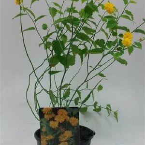 Kerria japonica 'Pleniflora' (WTM de Boer)