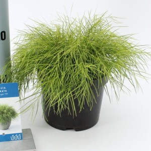 Acacia cognata 'Limelight'