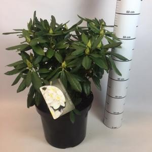 Rhododendron 'Madame Masson' (B.D. Rijnbeek Boomkwekerijen B.V.)