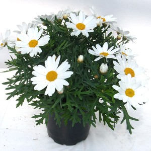 Argyranthemum frutescens PERCUSSION GIGA WHITE