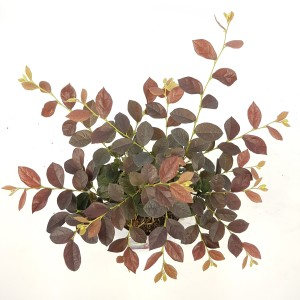 Loropetalum chinense RUBY SNOW
