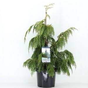 Chamaecyparis nootkatensis 'Pendula'