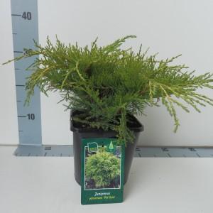 Juniperus x pfitzeriana 'Old Gold' (De Koekoek Potcultures)