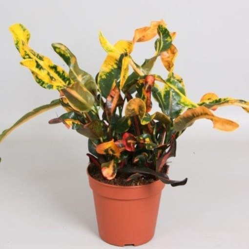 Codiaeum variegatum 'Mammi' (Handelskwekerij van der Velden)