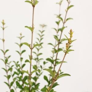 Ligustrum sinense 'Fragrant Cloud' (Snepvangers Tuinplanten BV)