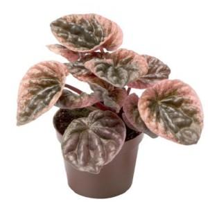 Peperomia caperata 'Abricos'