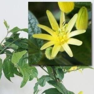 Passiflora citrina (Plantcare BVBA)