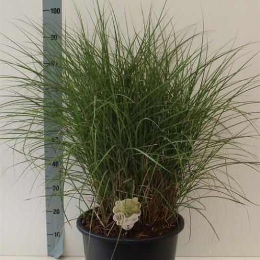 Miscanthus sinensis 'Kleine Silberspinne' (Van Tol & Van der Linde)