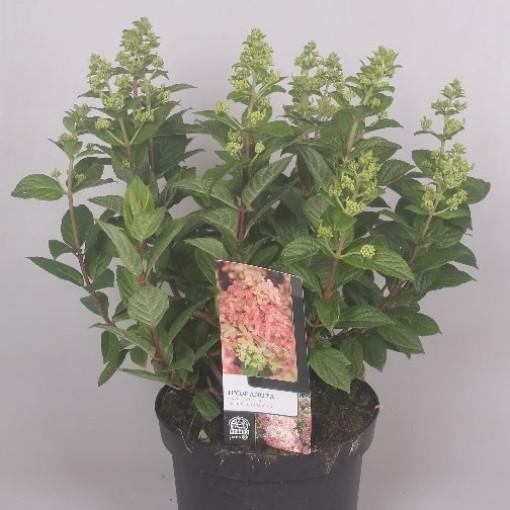 Hydrangea paniculata 'Pink Diamond' (Jesper Mathot Potcultures)