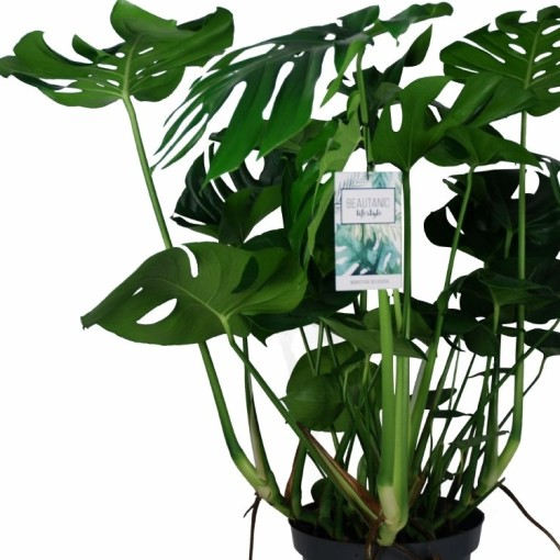 Monstera deliciosa (MDK Plants)