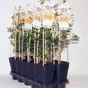 Pistacia lentiscus (BOGREEN Outdoor Plants)