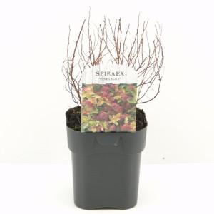 Spiraea japonica 'Firelight'