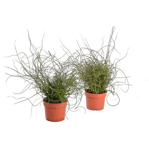 Juncus effusus 'Liebeslocken' (Bunnik Plants)