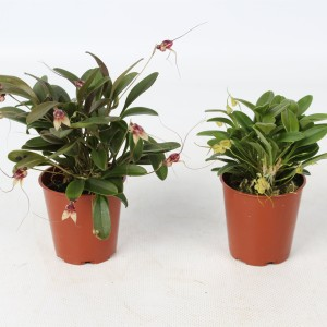 Masdevallia MIX (Lansbergen Orchideeën)