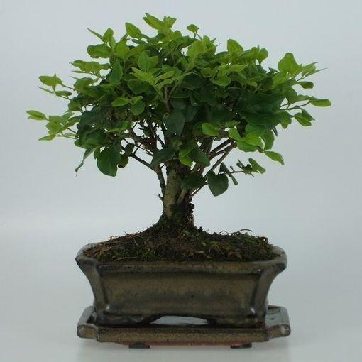 Ligustrum sinense (Trendy Bonsai BV)