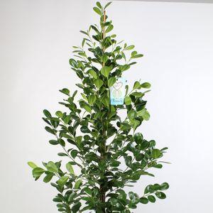 Ficus microcarpa 'Moclame'