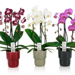 Phalaenopsis EVIA