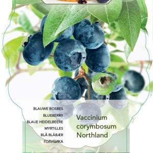 Vaccinium corymbosum 'Northland' (BOGREEN Outdoor Plants)