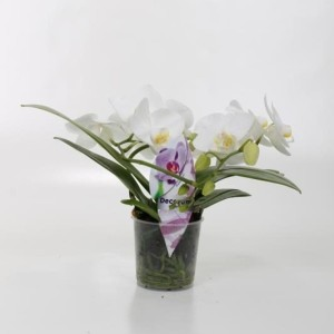 Phalaenopsis 'Tropic Snowball' (Ter Laak Orchids Midiflora)