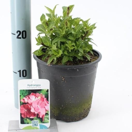 Hydrangea macrophylla 'Pia' (About Plants Zundert BV)