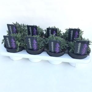 Lavandula angustifolia ARDECHE