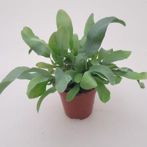 Phlebodium aureum 'Areolatum'