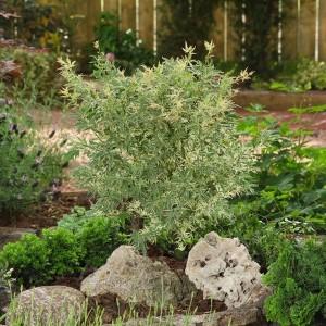 Acer palmatum 'Butterfly' (Van Son & Koot BV)