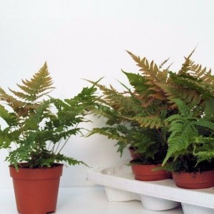 Ferns MIX (Ruhé Varens B.V.)