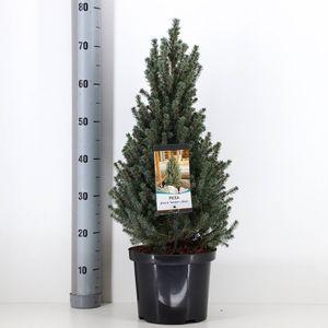 Picea glauca 'Sander's Blue' (Bremmer Boomkwekerijen)