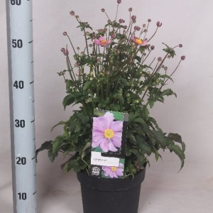 Anemone FANTASY CINDERELLA (Jesper Mathot Potcultures)