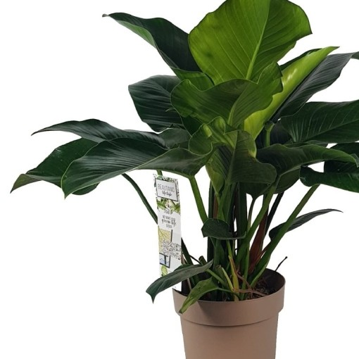 Philodendron 'Green Beauty' (MDK Plants)