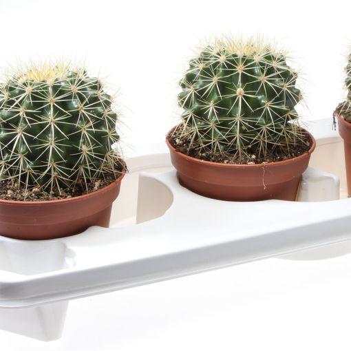 Echinocactus grusonii (Eurocactus)