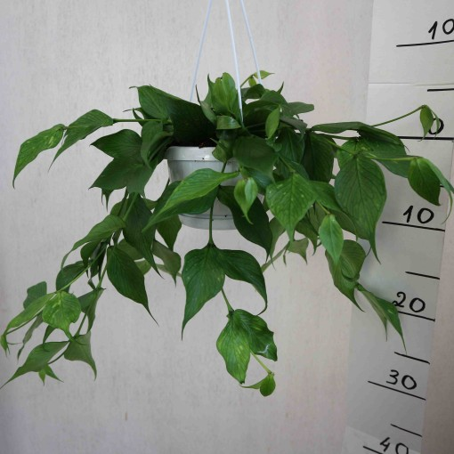 Hoya polyneura (Meyst Werner, De)