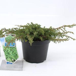 Juniperus communis 'Green Carpet' (About Plants Zundert BV)