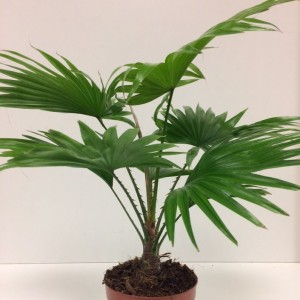 Livistona rotundifolia (Vireõ Plant Sales)