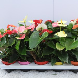 Anthurium SWEETHEART MIX (Experts in Green)