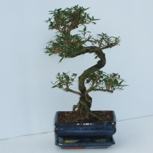 Serissa foetida (Trendy Bonsai BV)