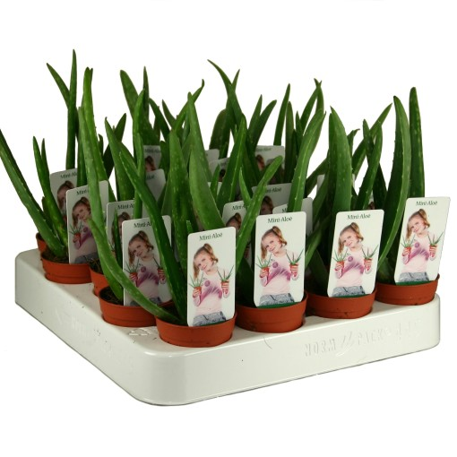 Aloe vera (Ammerlaan, The Green Innovater)