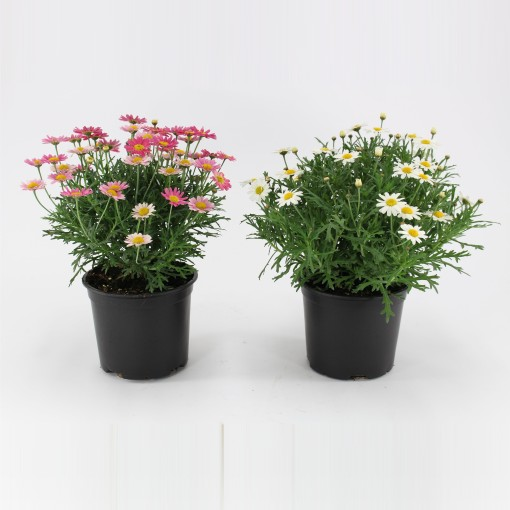 Argyranthemum frutescens MIX (Kwekerij Baas)