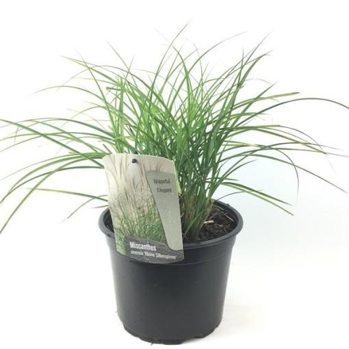 Miscanthus sinensis 'Kleine Silberspinne' (Oprins Plant)