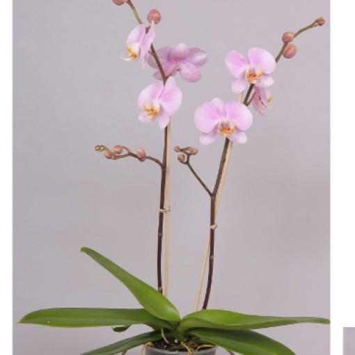 Phalaenopsis DAYDREAMER (Bee-O)